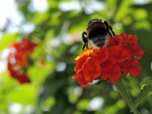 Foto d'estoc gratuïta de abella, flor, flors, insecte