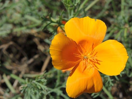 Foto d'estoc gratuïta de flor, taronja