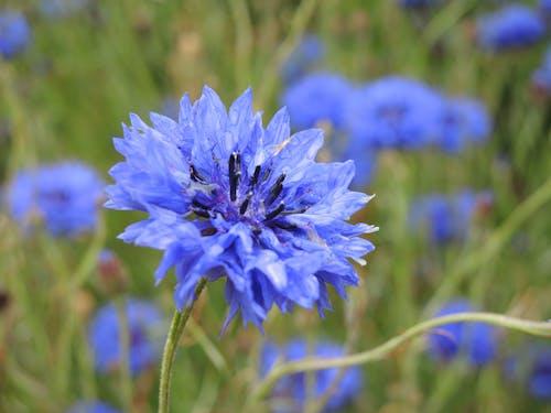 Foto d'estoc gratuïta de blau, flor, flors