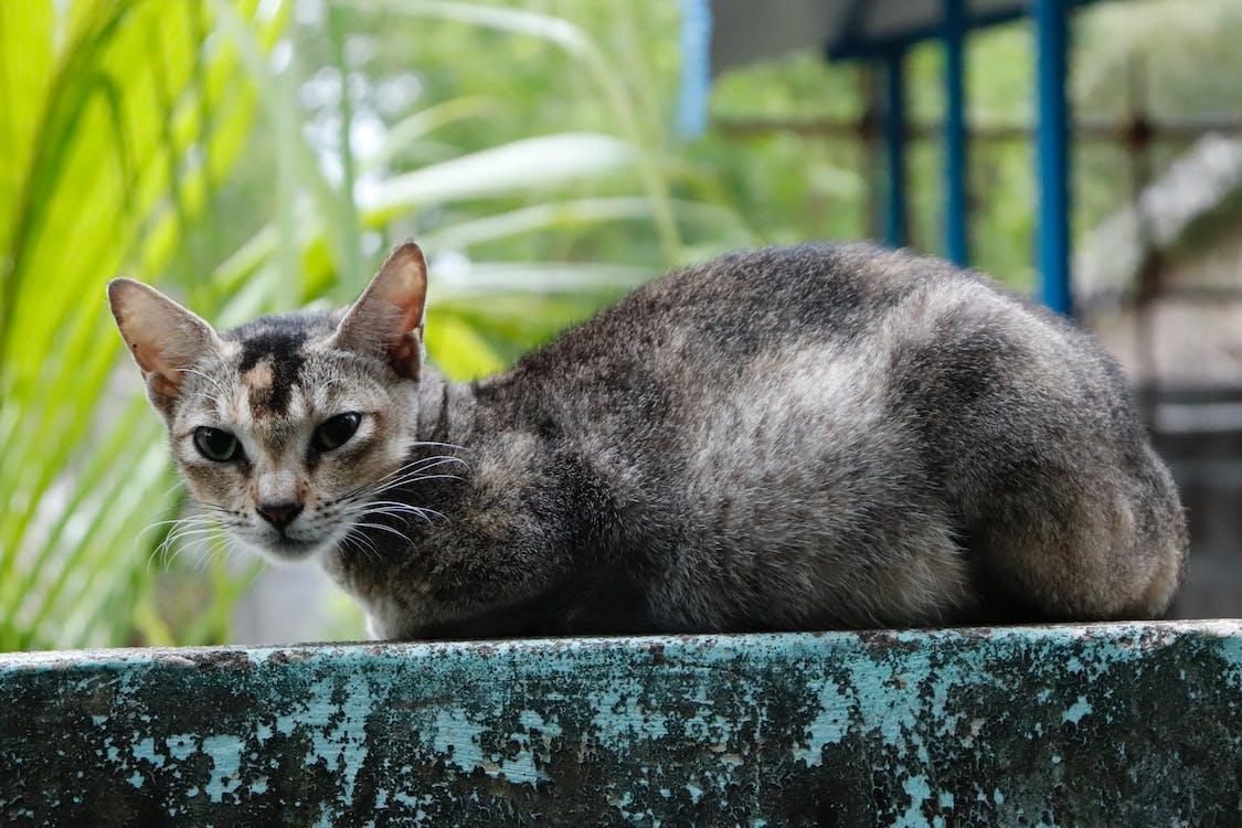 αιλουροειδές, βλέπω, Γάτα