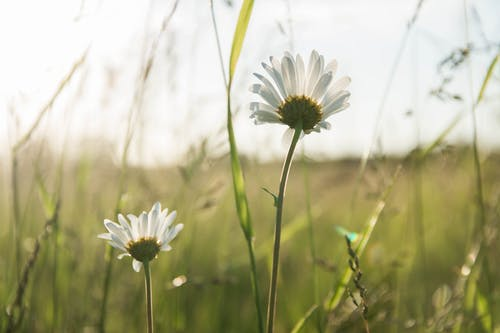 Foto stok gratis alam, aster, berkembang, bidang