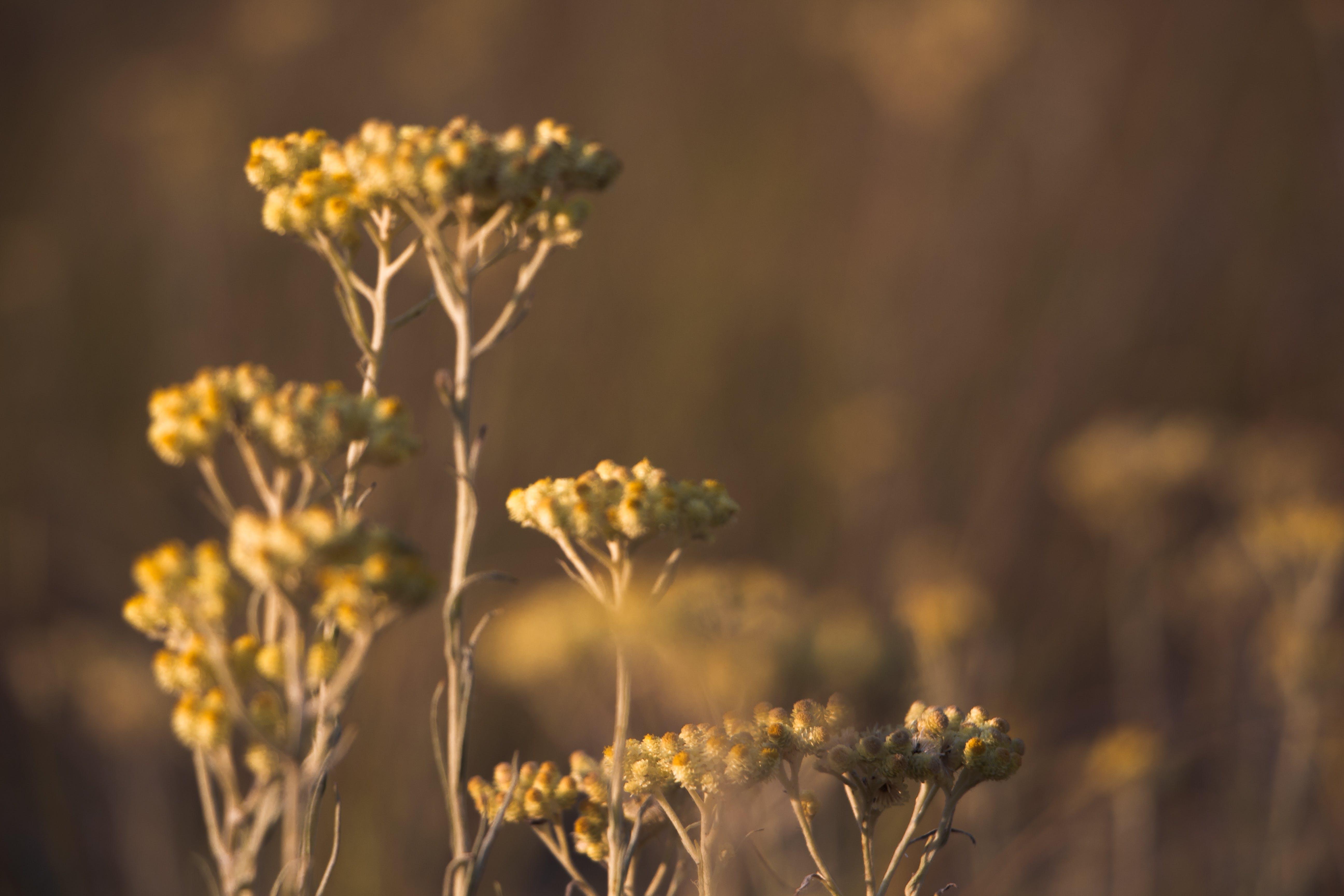 Yellow Verbena Bonariensis Flowers Selective-focus Photography