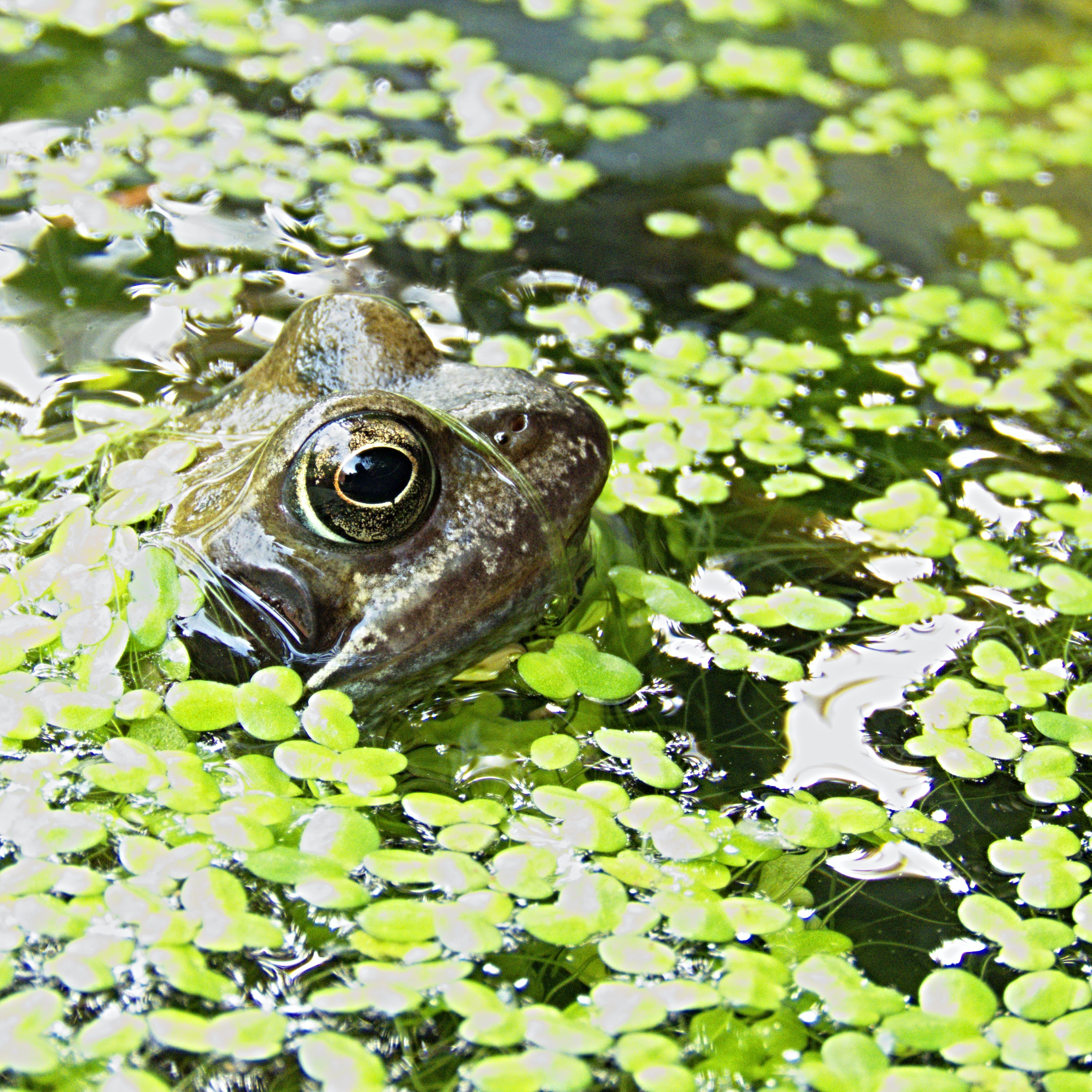 Brown Frog Surrounded by Green Floating Pants on Water