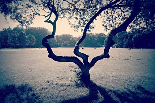 Free stock photo of field, gnarled, lonely tree, park