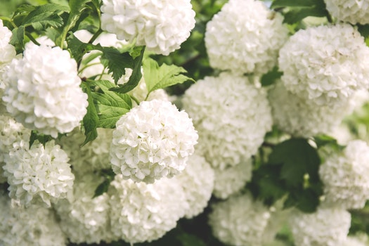 White Clustered Flowers With Green Leaves