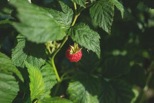 Ripe Strawberry Fruit