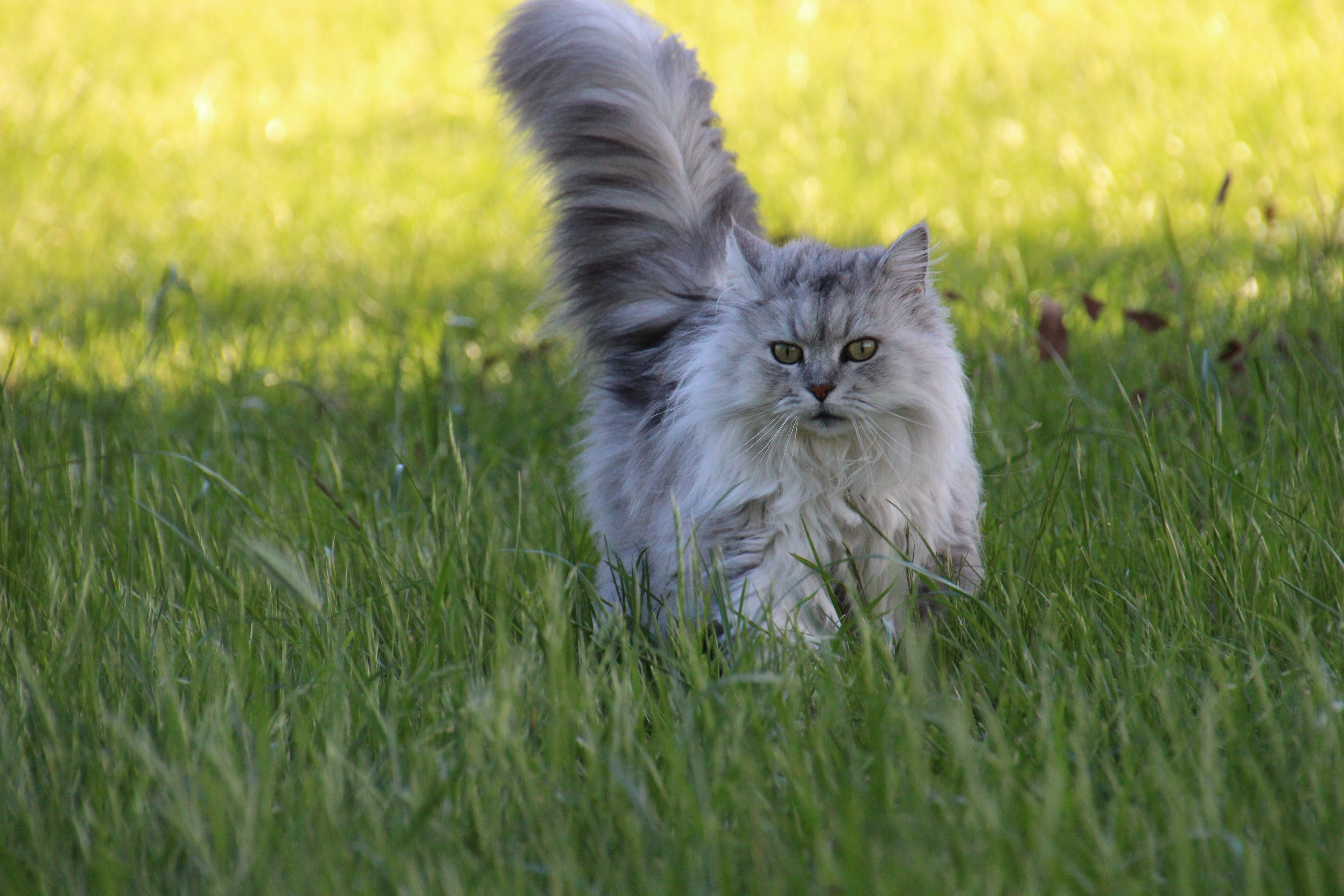 Asian Semi-longhair Cat on Grass