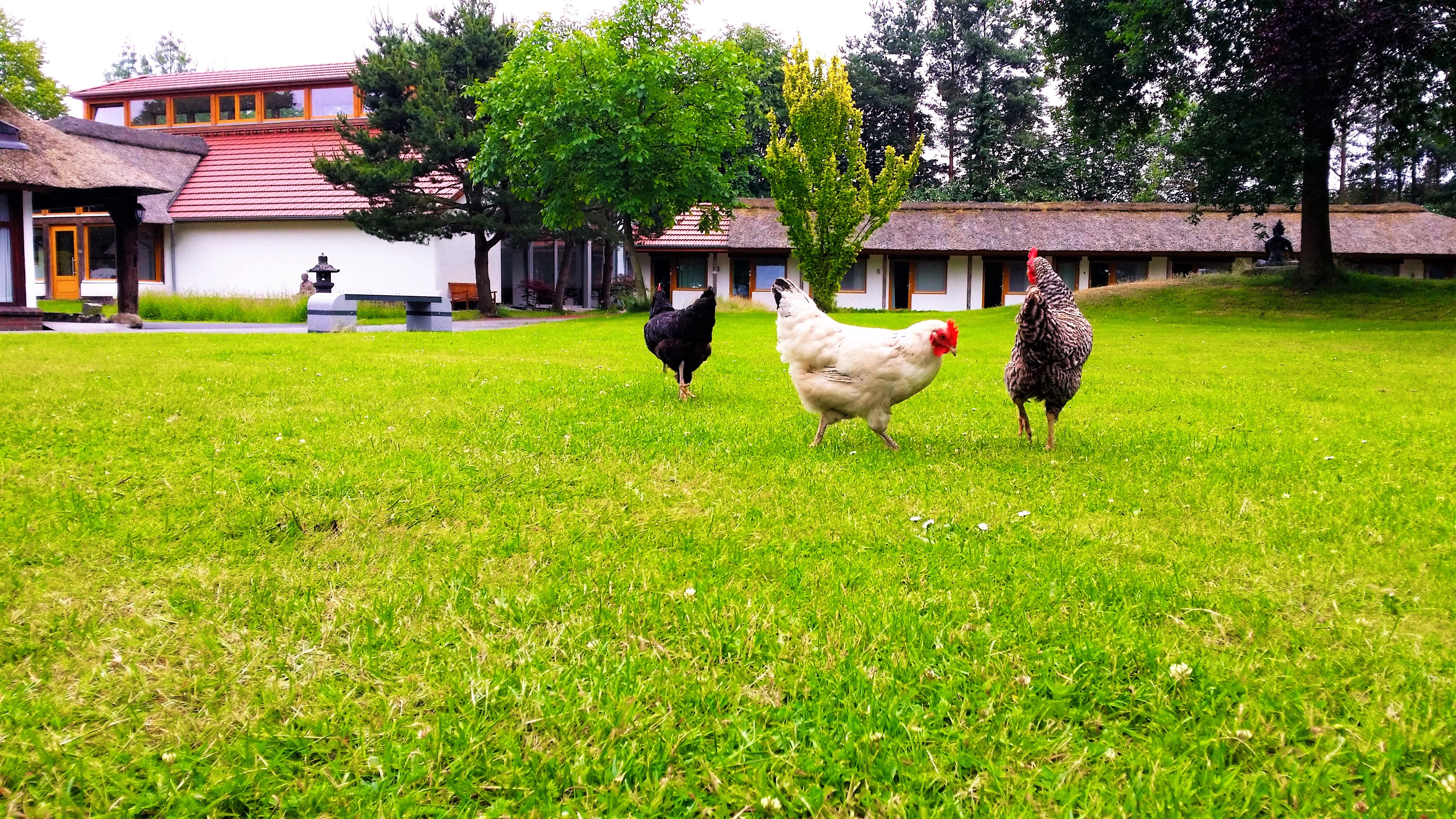 Free stock photo of germany, Hühner, roosters