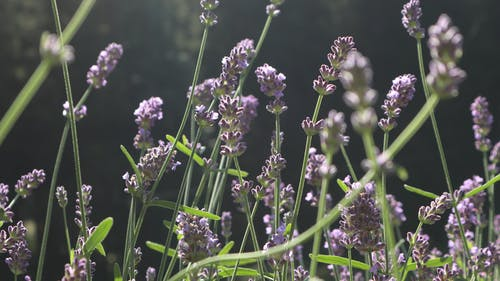 Free stock photo of blossoms, herbs, lavender, nature