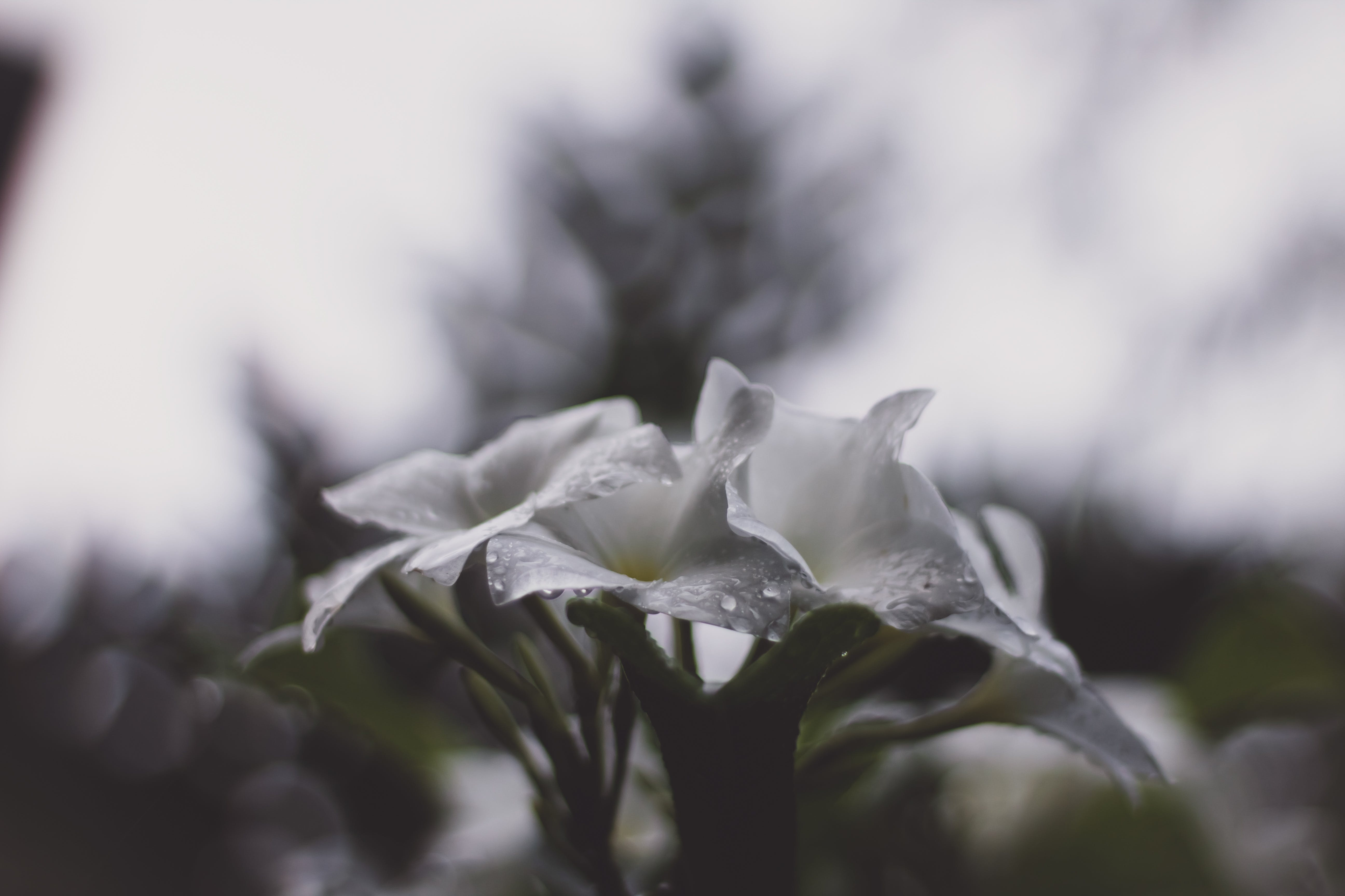 Selective Focus Phogograph of White Petaled Flower