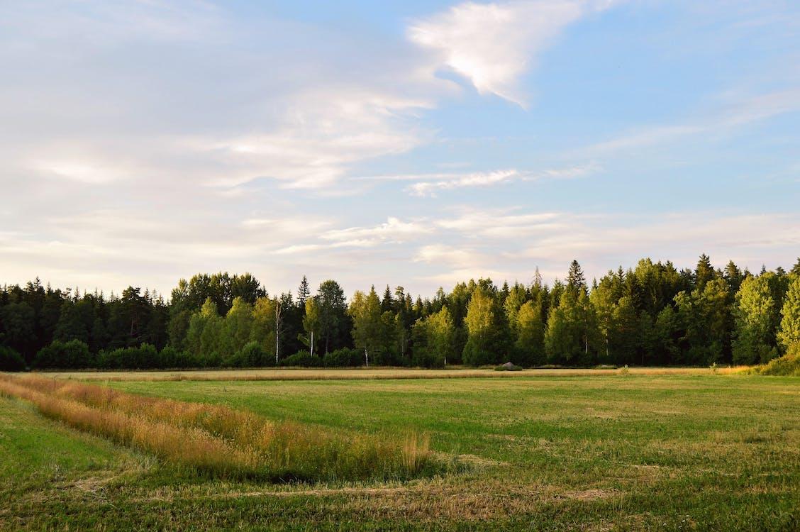 Зеленые сосны и поле зеленой травы