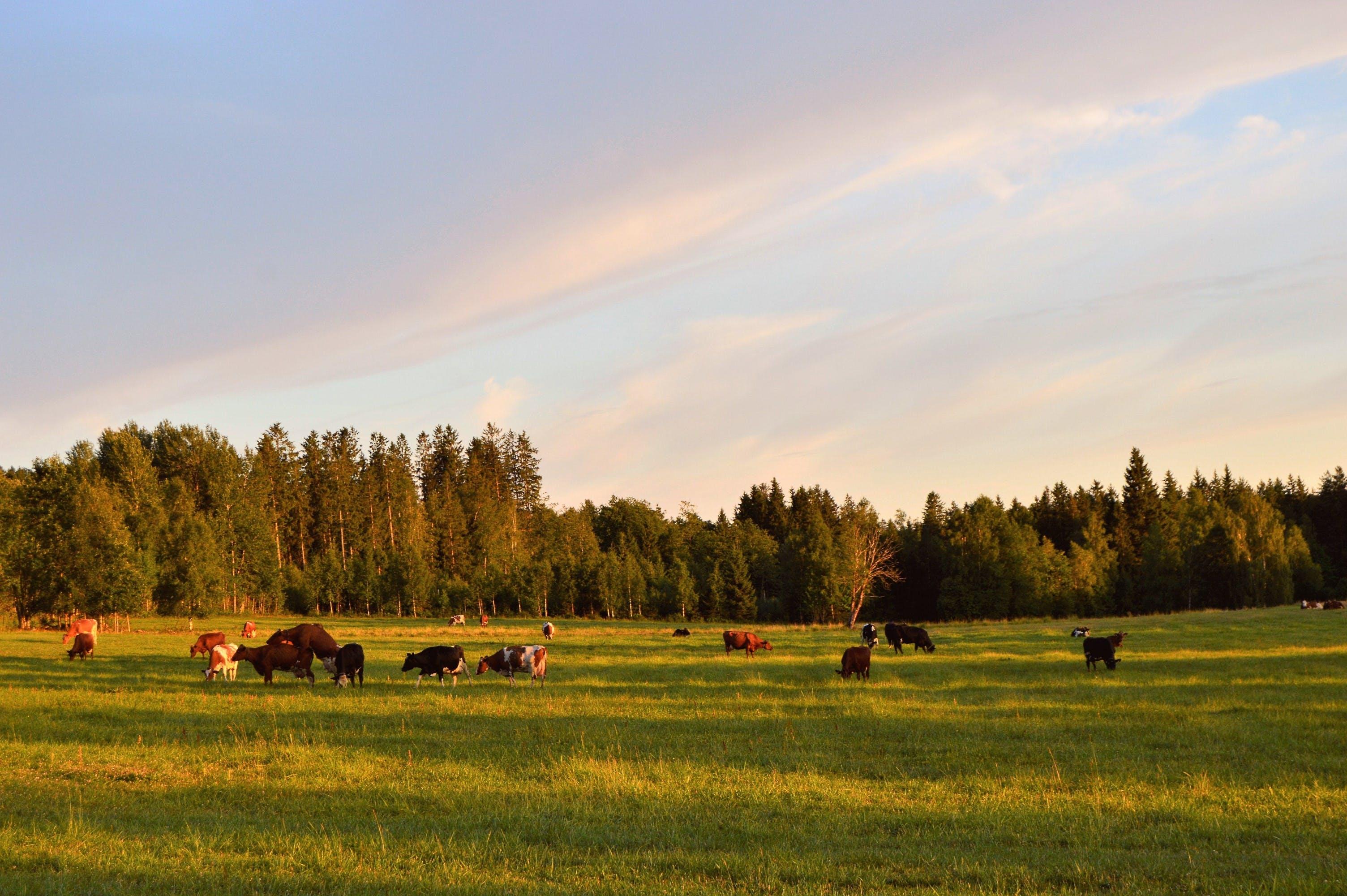 Herd of Cattle on the Field