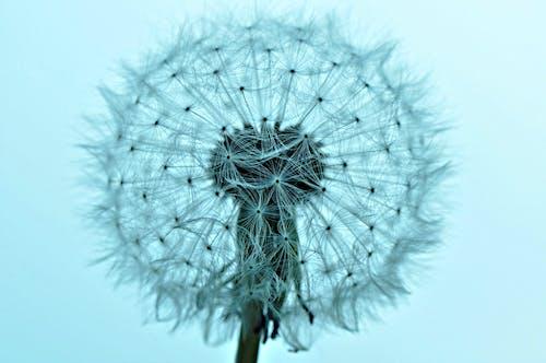 Free stock photo of dandelion, dandelion puffball, fluffy, growth