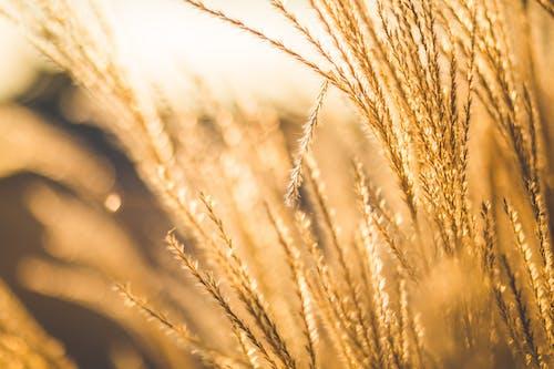 Imagine de stoc gratuită din blur, cereală, estompare, grâu