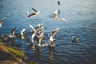 sea, nature, pelican