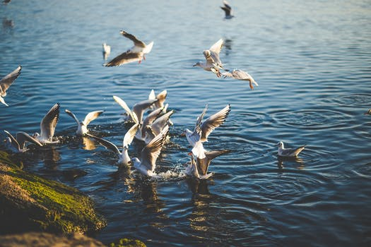 Flock of Birds Flying and Diving over Water during Daytime
