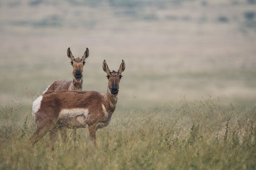 Two Deers on Green Grass Field
