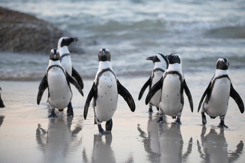 Flock of Penguins Near Sea