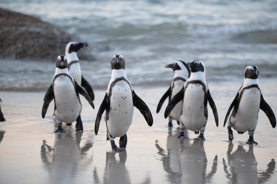 ビーチ, ペンギン, 動物