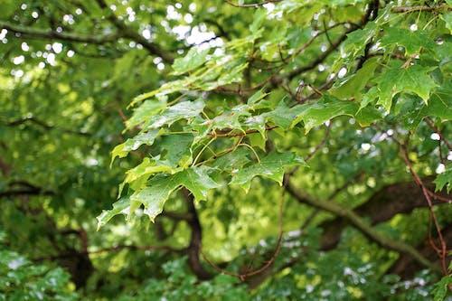 ağaç yaprakları, gündüz, yağmur damlaları, yaz içeren Ücretsiz stok fotoğraf