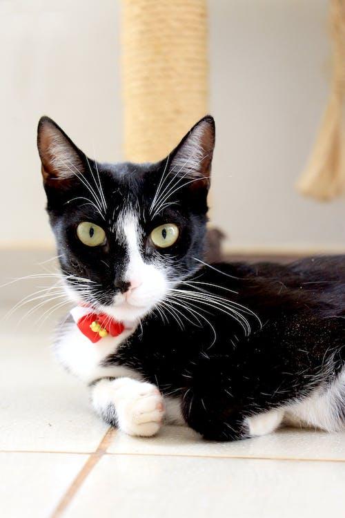 ネコ, ぶち, ペット, 動物の無料の写真素材