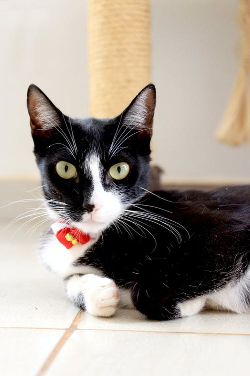 Closeup Photo of Black and White Cat