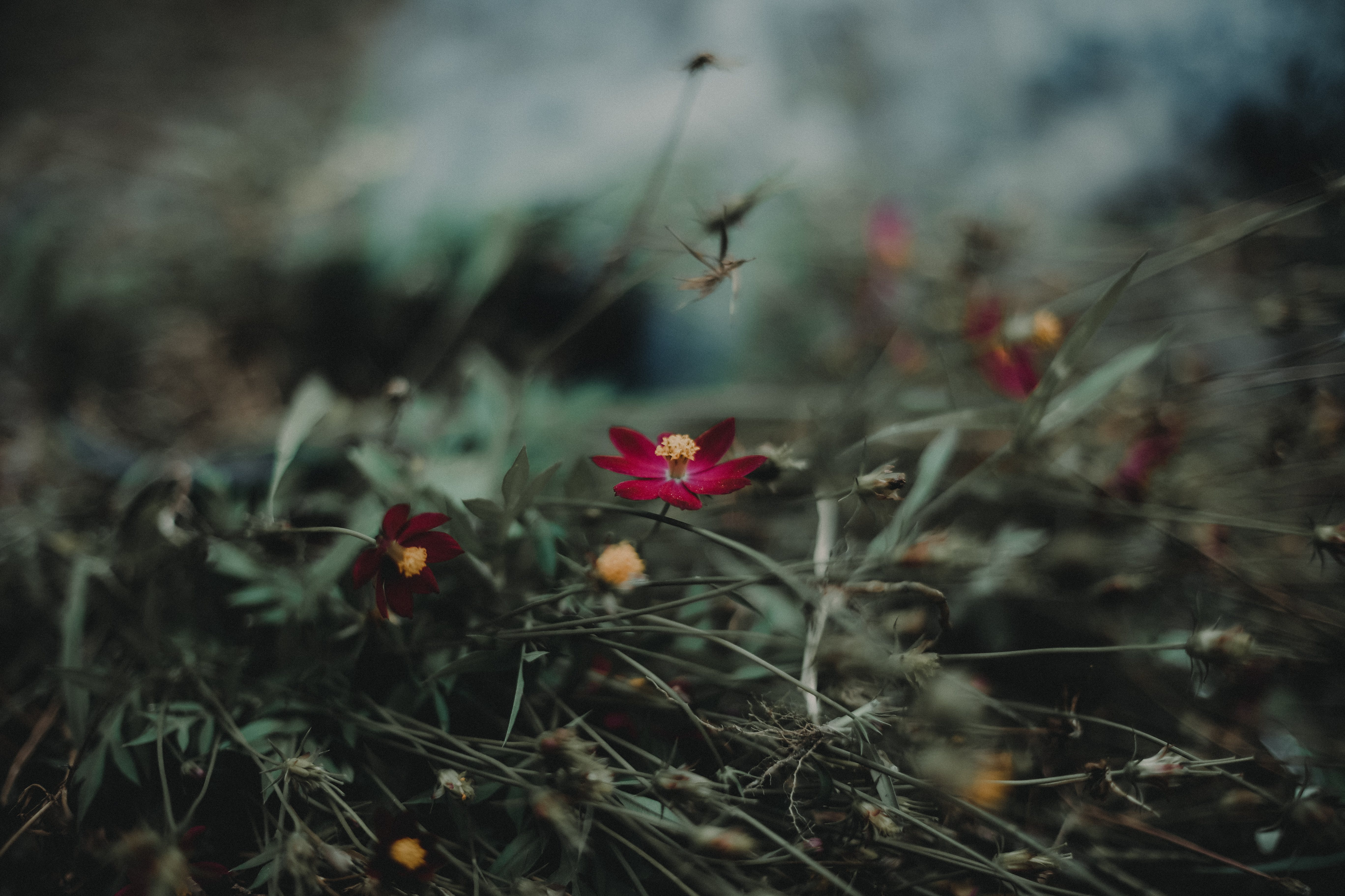 Shallow Focus Photography of Maroon Petal Flower