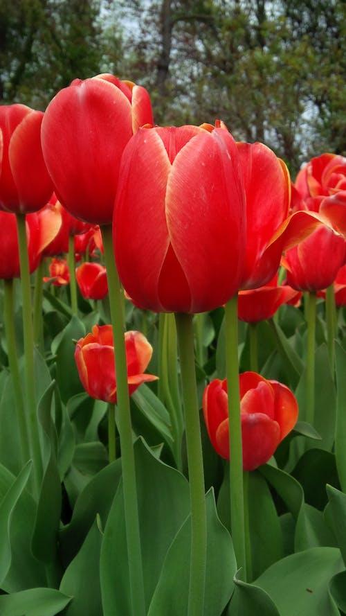 Free stock photo of flowers, tulip