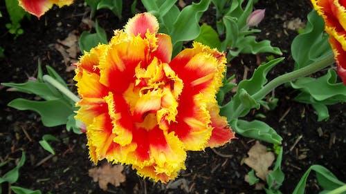 Free stock photo of flowers, garden, tulip