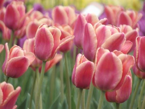 Free stock photo of beautiful flowers, blooming, flowers, garden