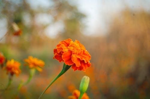 Free stock photo of Flower genda Rahul Bhoye photography