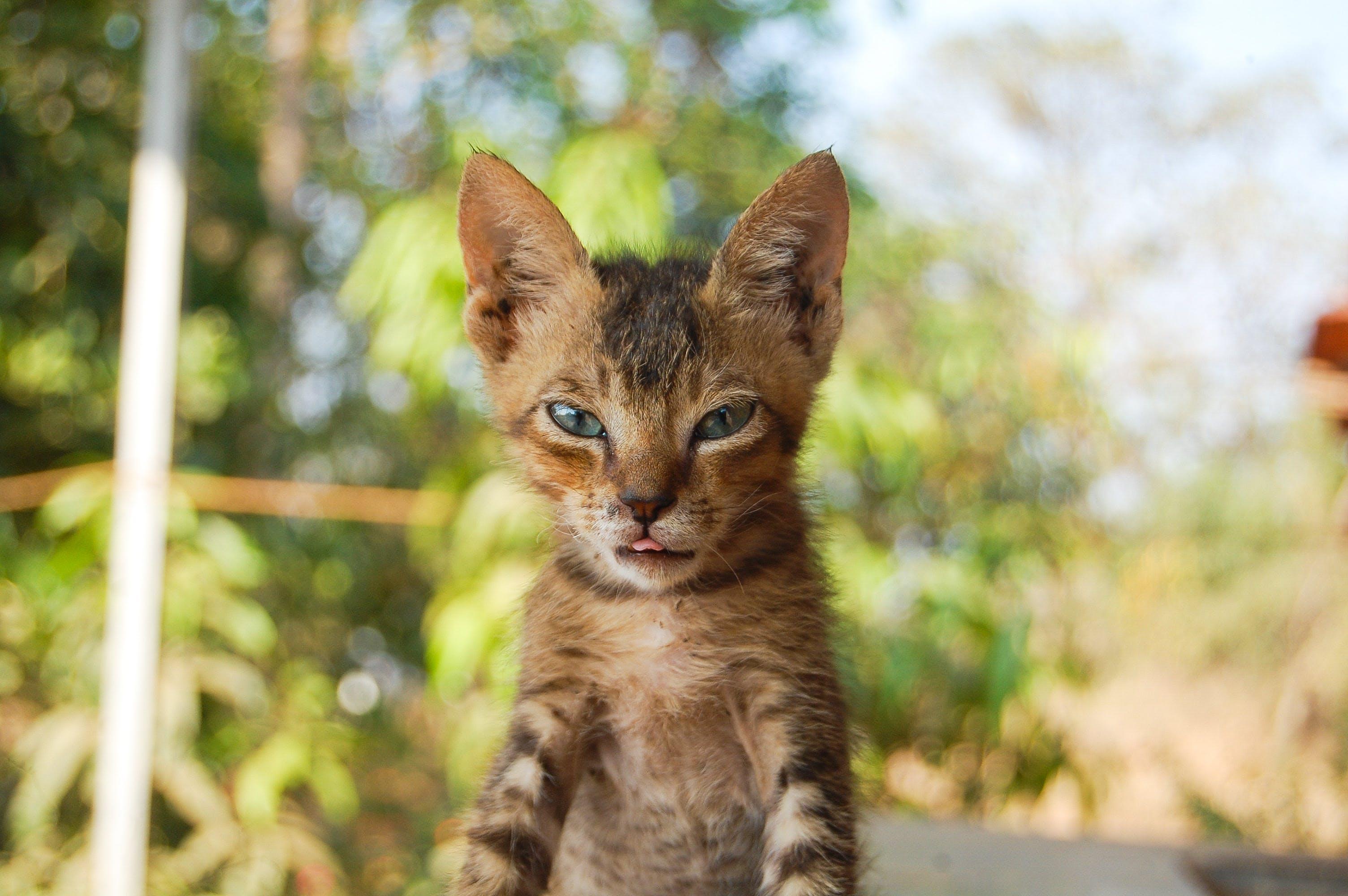 Základová fotografie zdarma na téma domácí mazlíček, kočka, kočka domácí, kočkovití