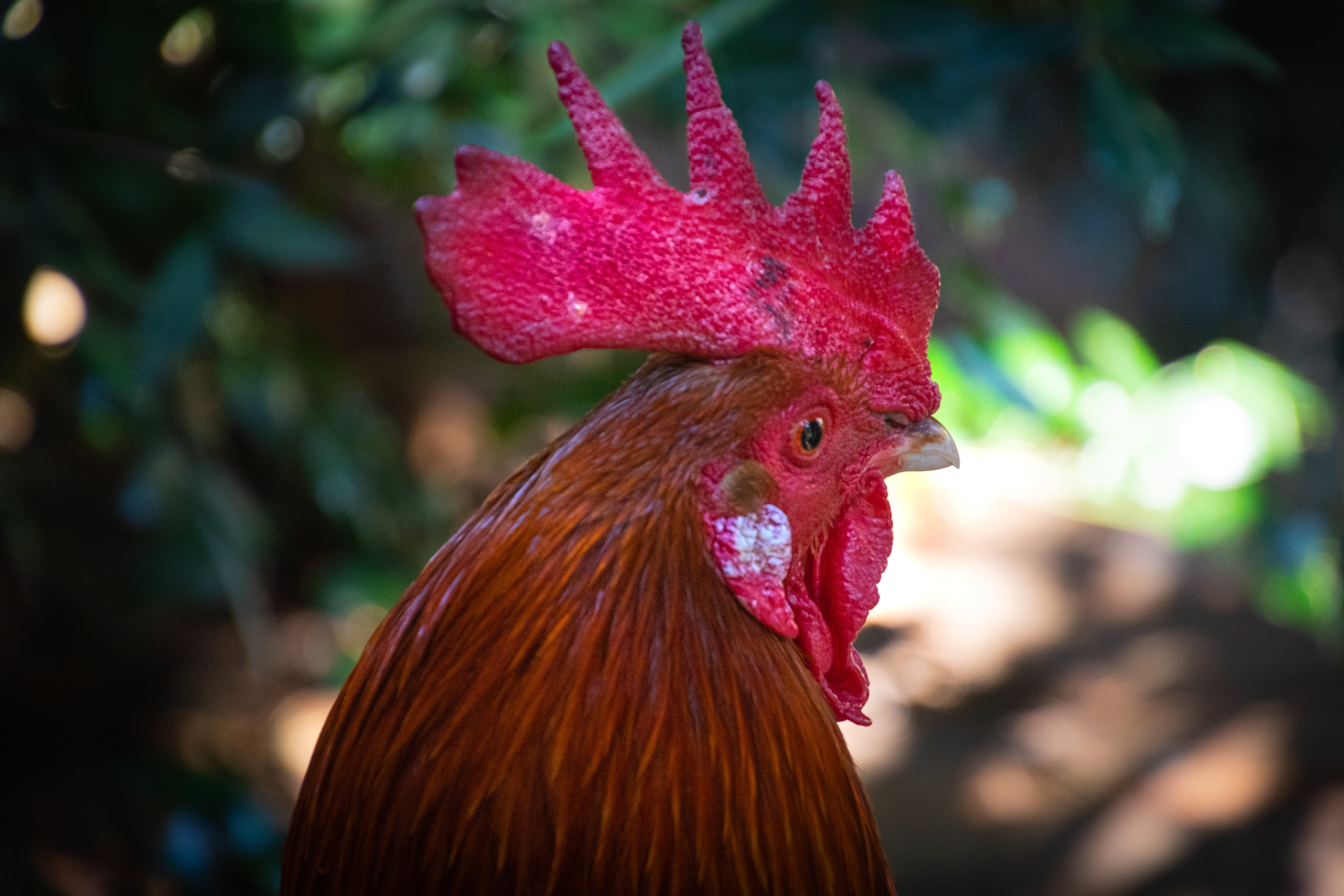 Red Rooster in Focus Photography