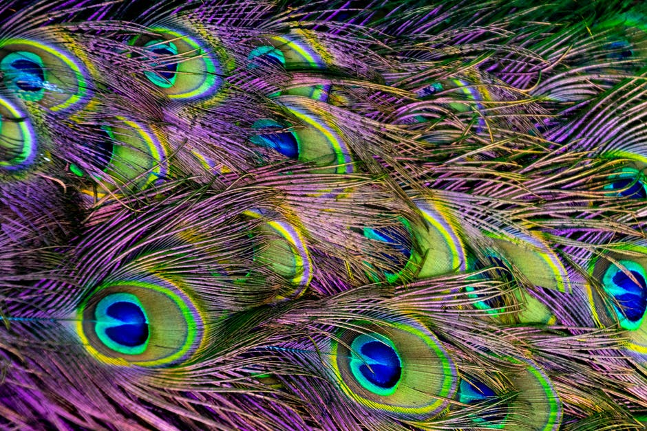 Green purple and blue peacock feather digital wallpaper