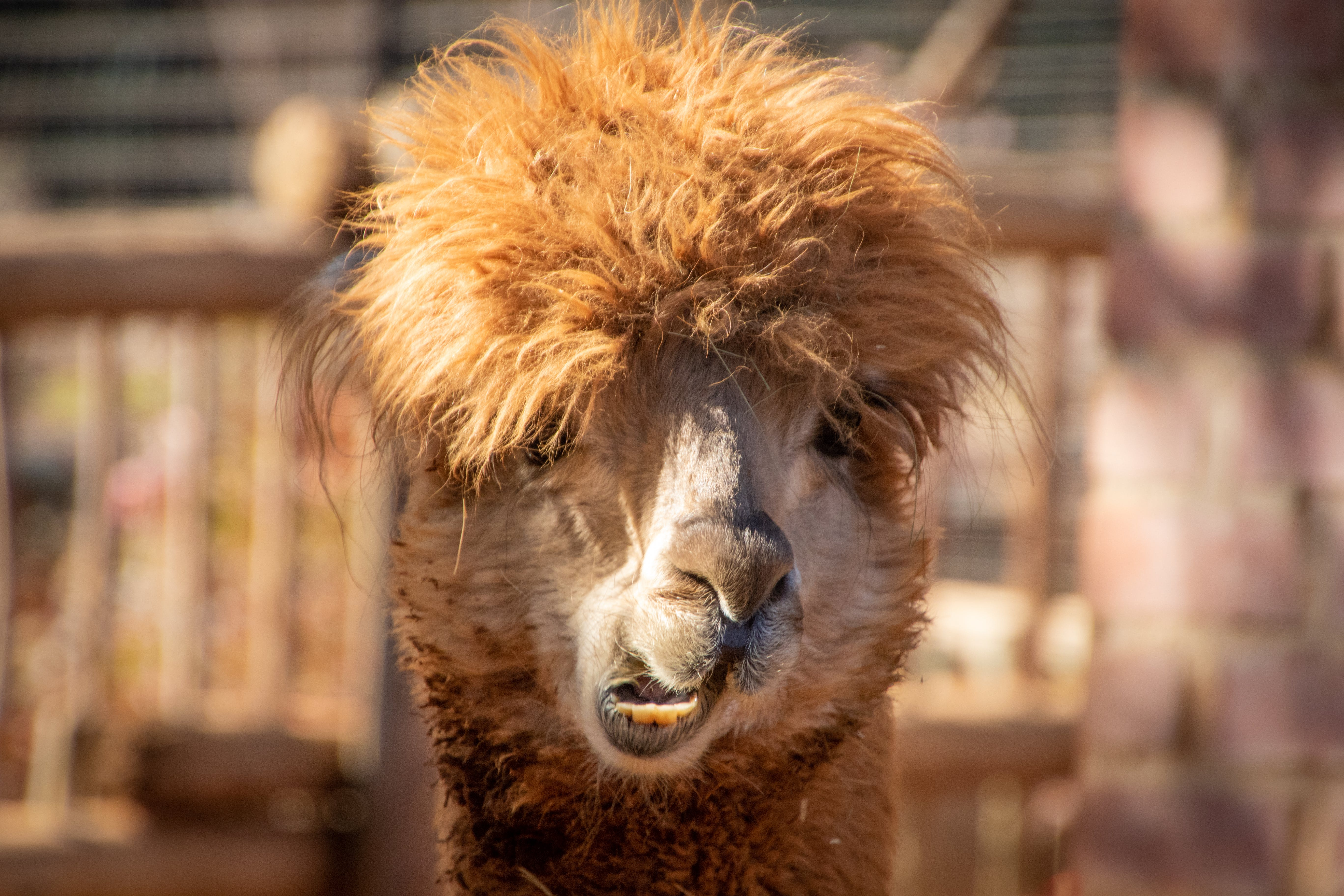 Shallow Focus Photography of Brown Llama