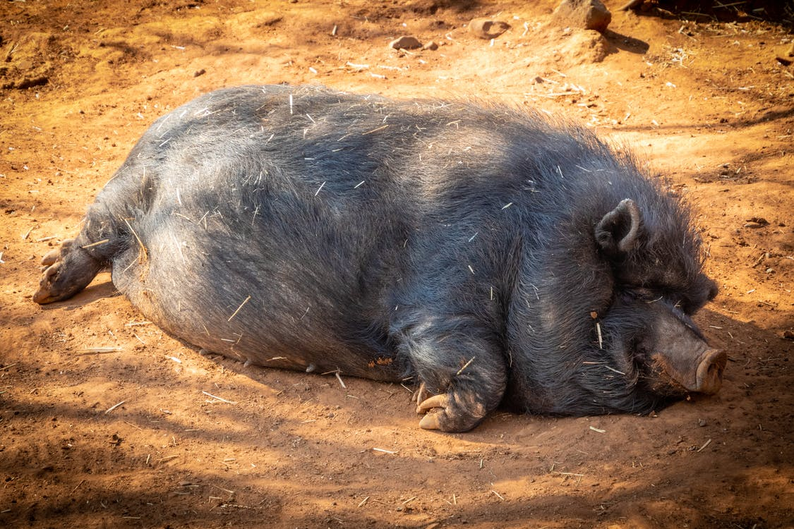 Black Hog Prone Lying on Soil Under Shade of Tree