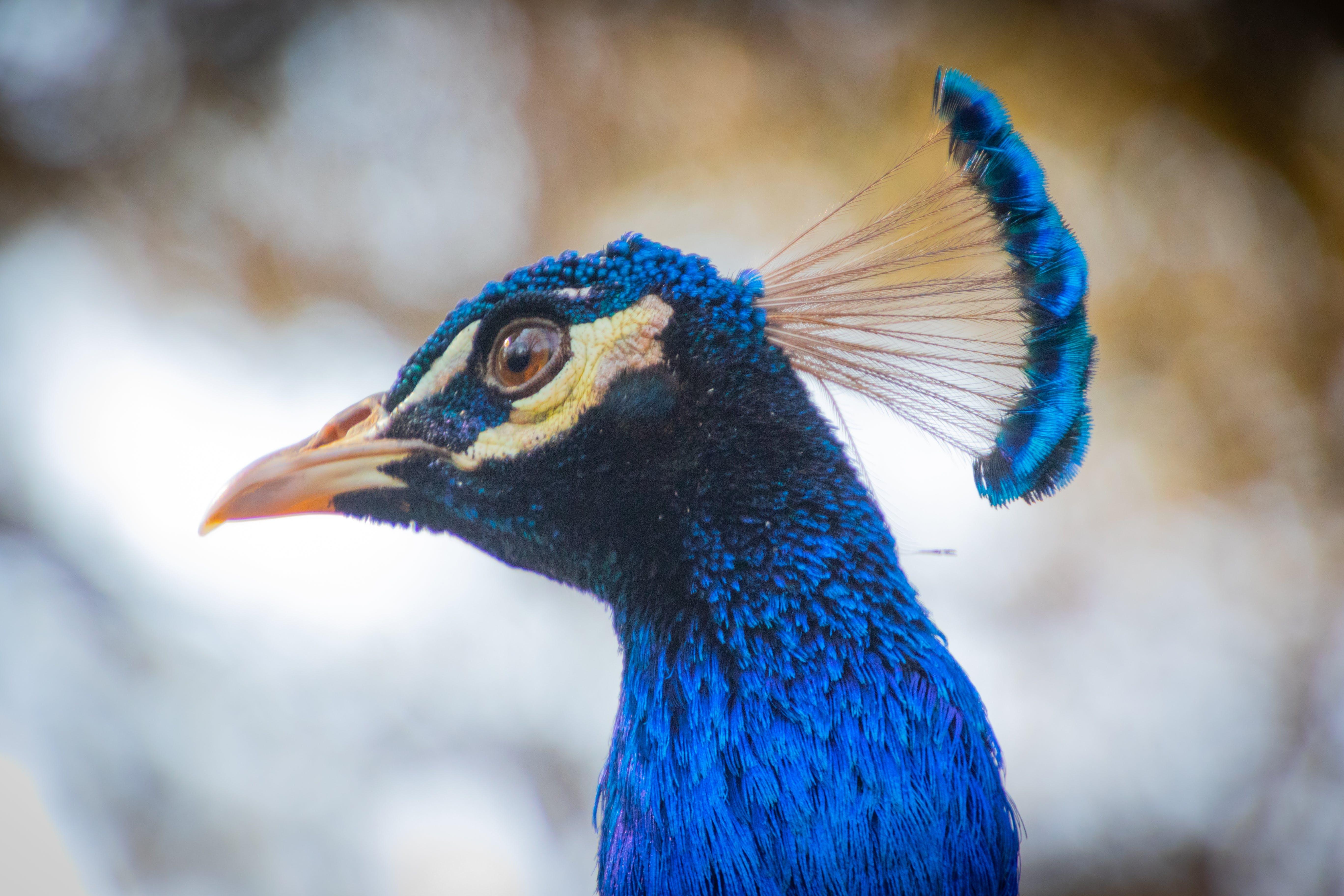 Focus Photo of Blue Peacock