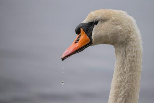 Základová fotografie zdarma na téma bílá labuť, divočina, drůbež, kapky vody