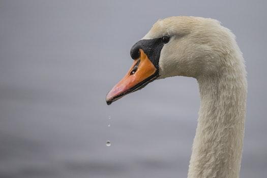 Beige Goose