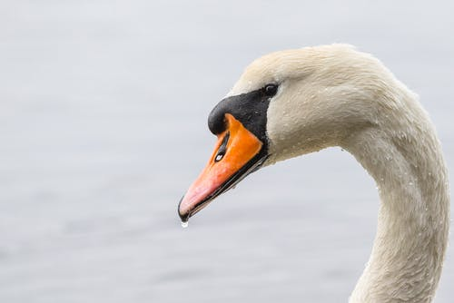 Photos gratuites de animal, cou, cygne, cygne blanc