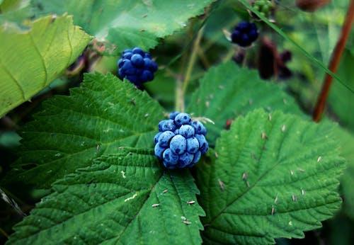 Free stock photo of berry, blackberry, food, fresh
