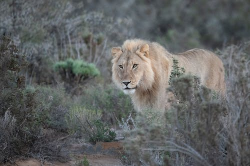 Photo of Lion Beside Green Leaf Trees