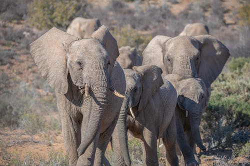 Free stock photo of african elephant, elephants
