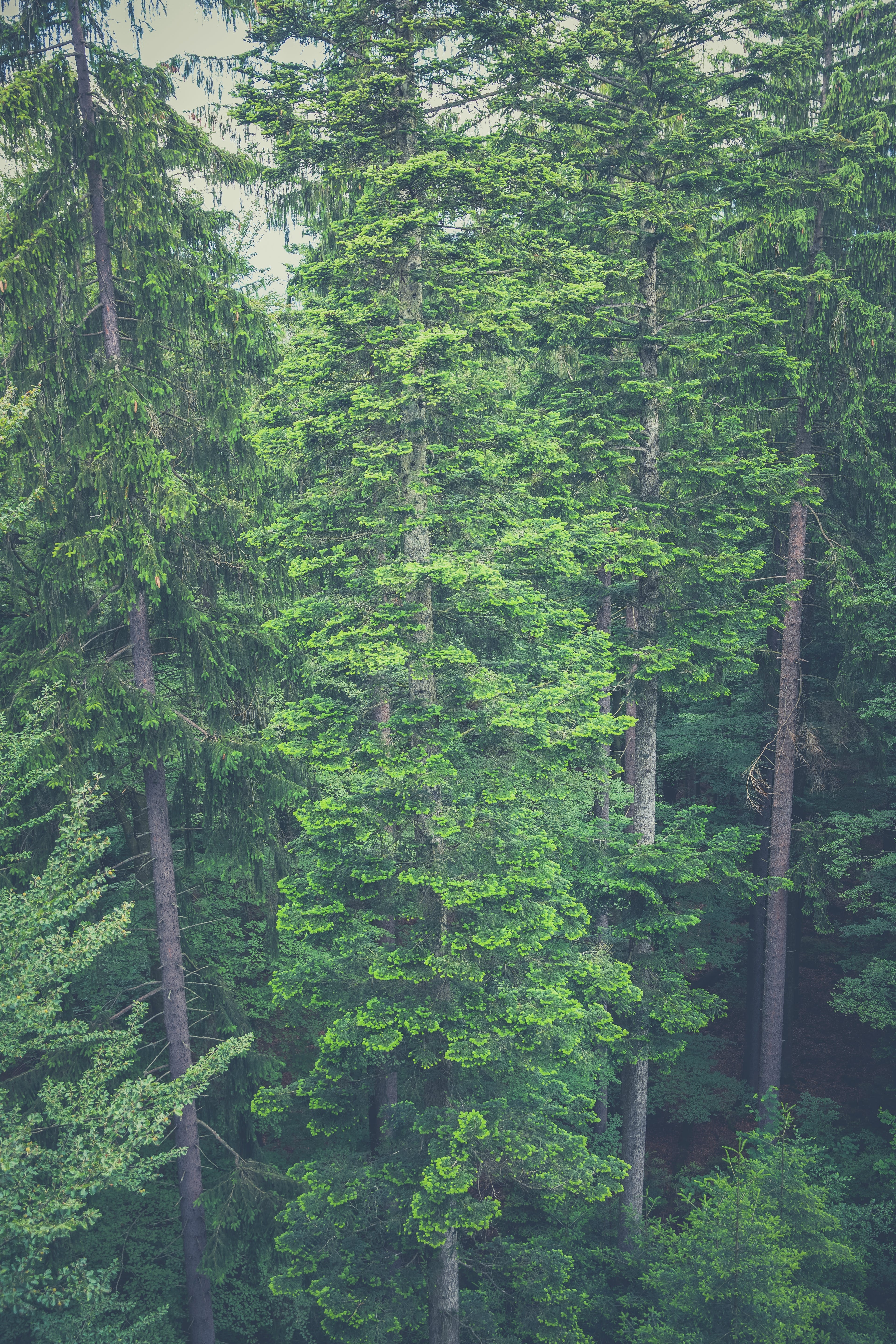 Aerial View of Tall Trees in the Woods