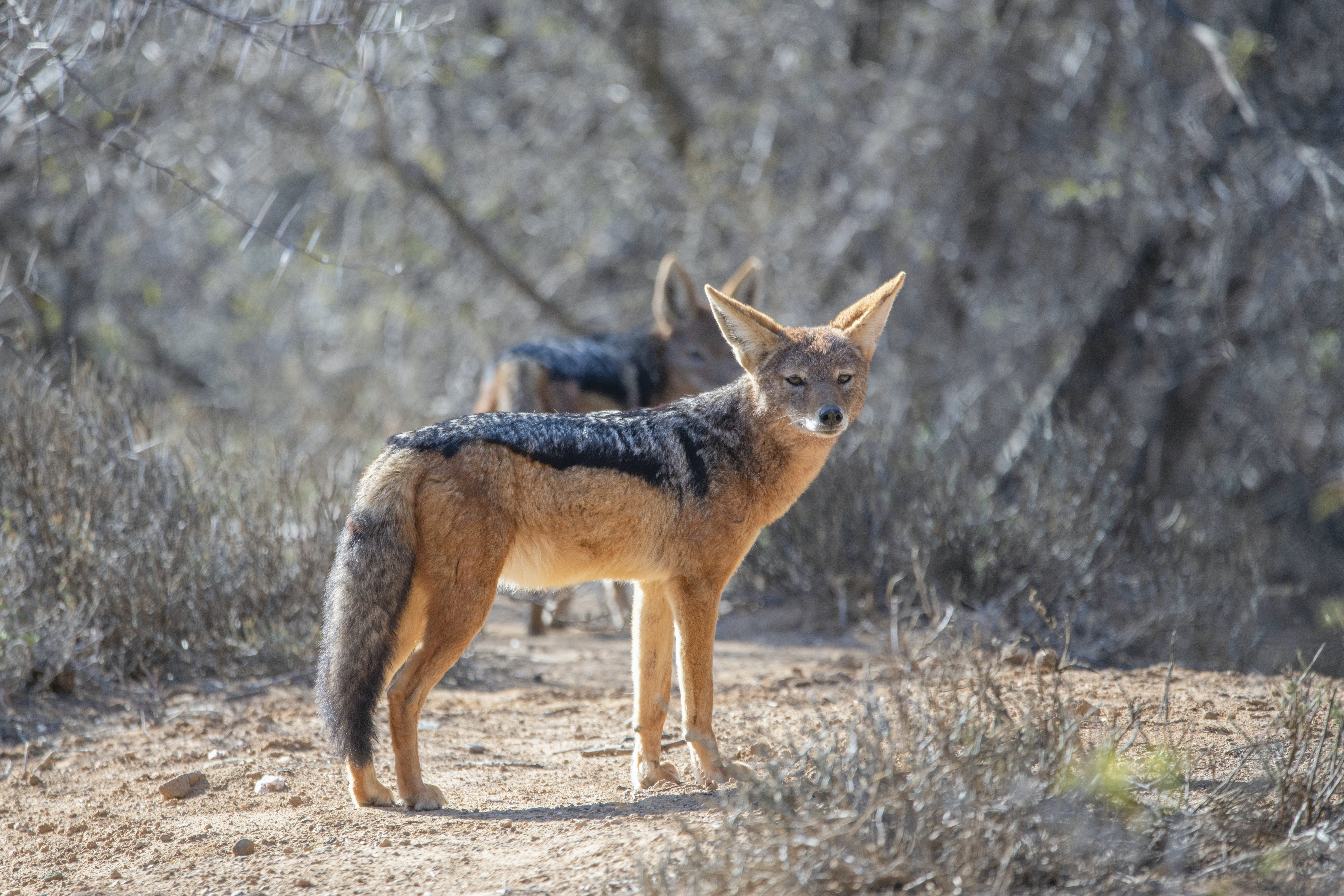 Black and Red Fox Standing on Dirt Road Near Trees