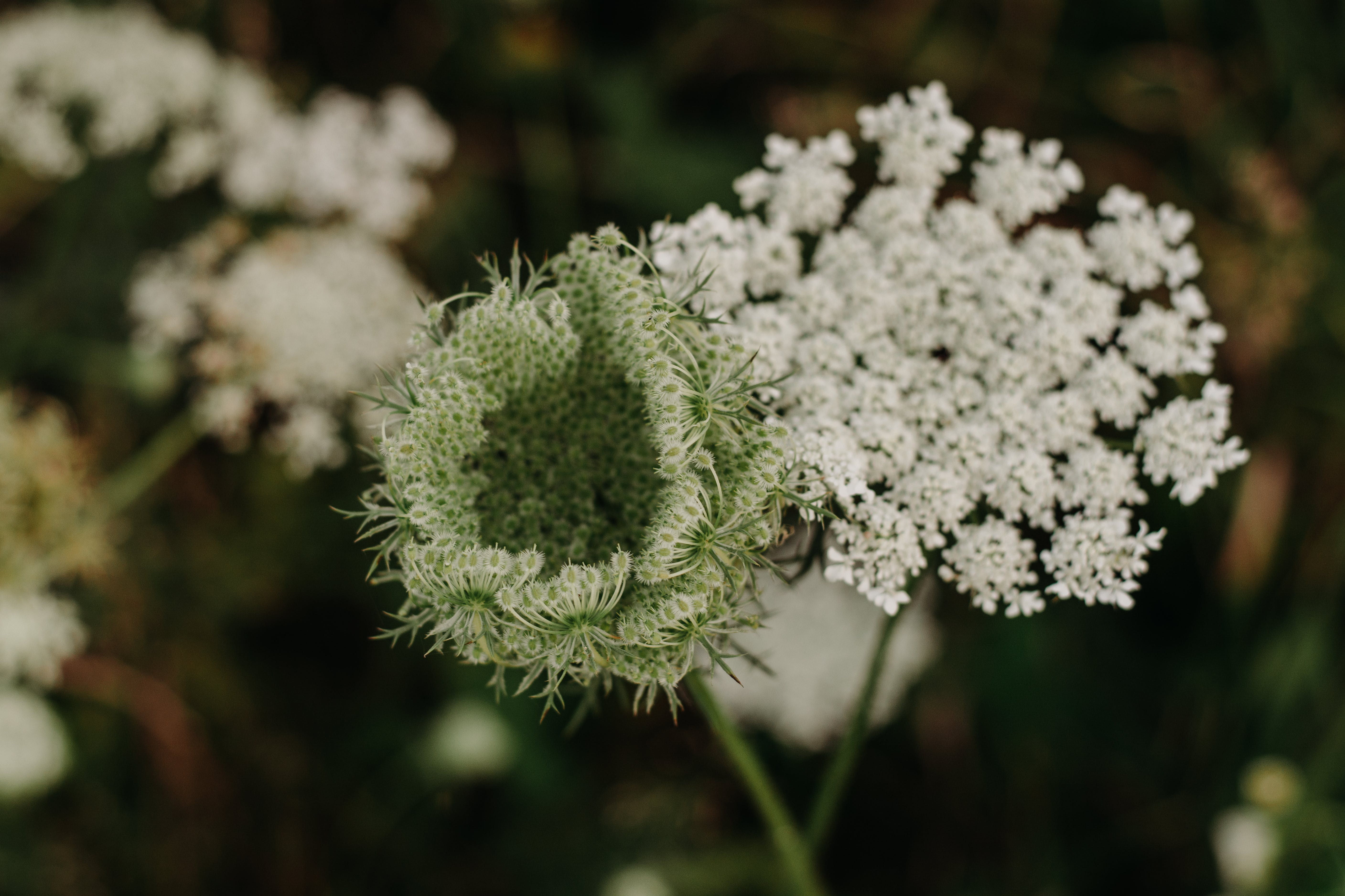 Closeup Photo of White Queen Anne's Lace Flower