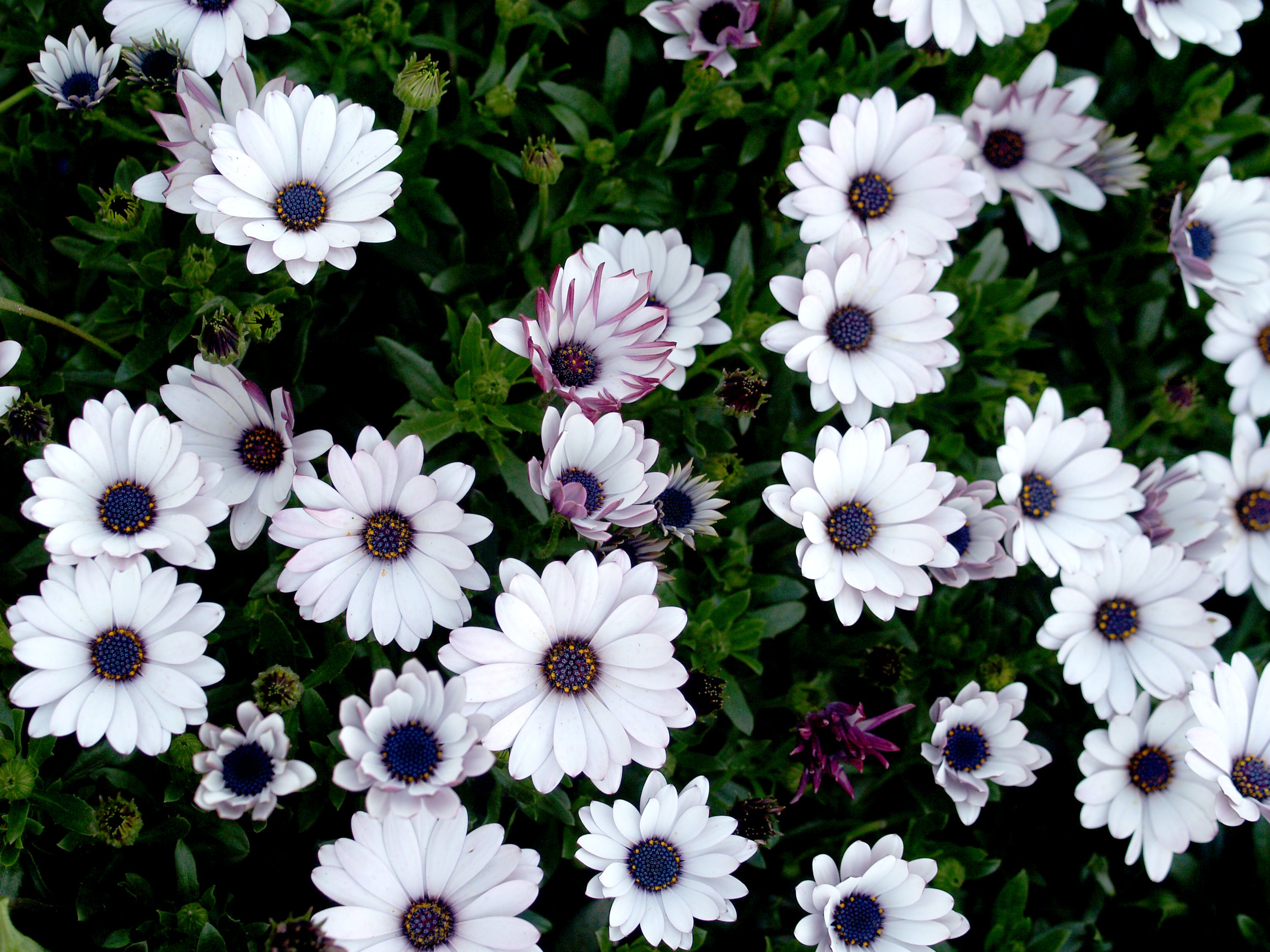 Close-up Photography of White-and-purple Petaled Flowers in Bloom