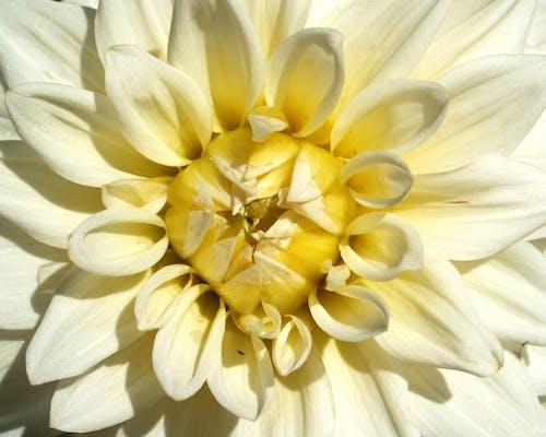 Gratis lagerfoto af blomst, blomstrende, close-up, dahlia