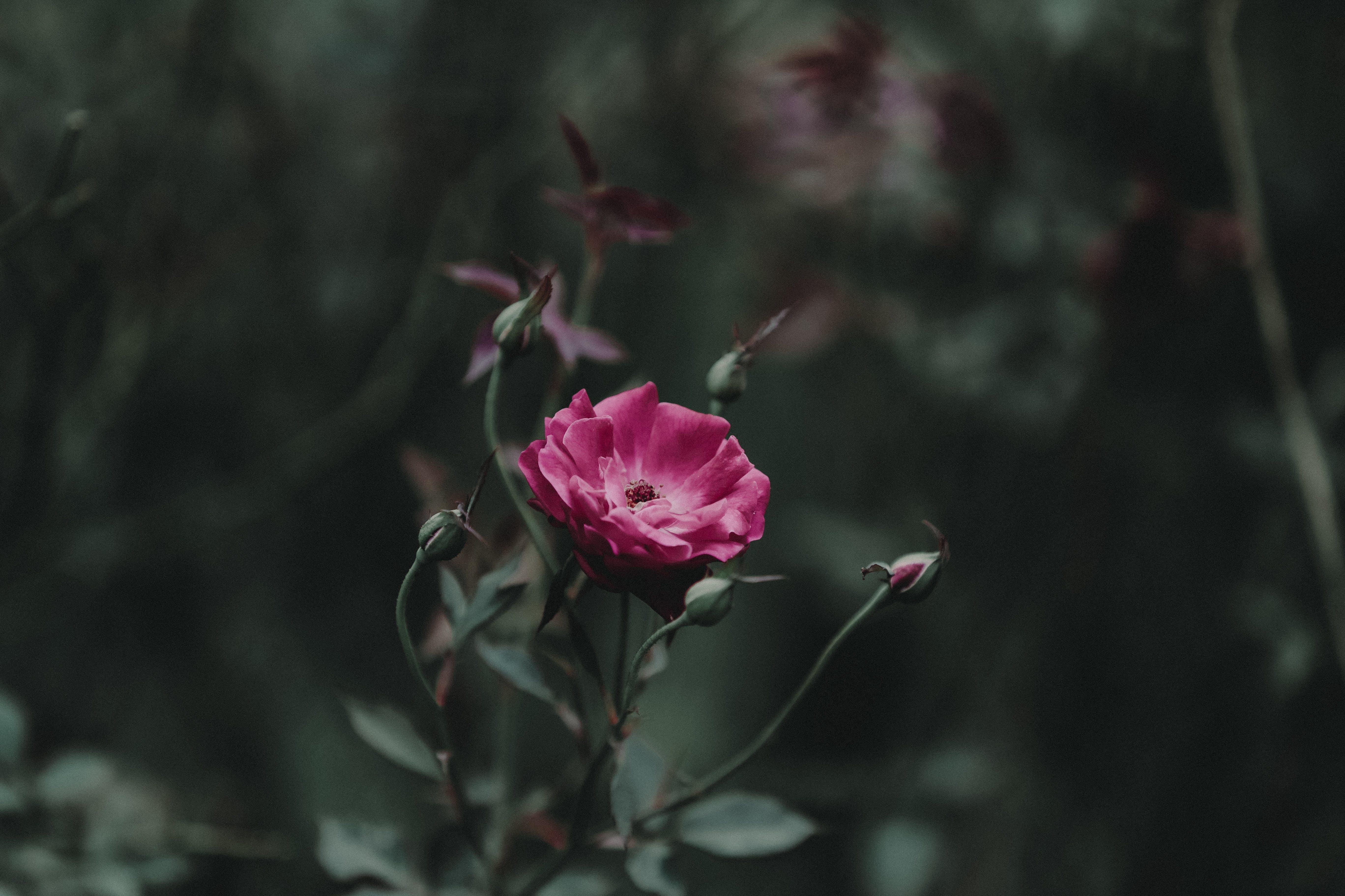 Shallow Focus Photography of Pink Petal Flower