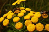 close-up view, bees, yellow flowers